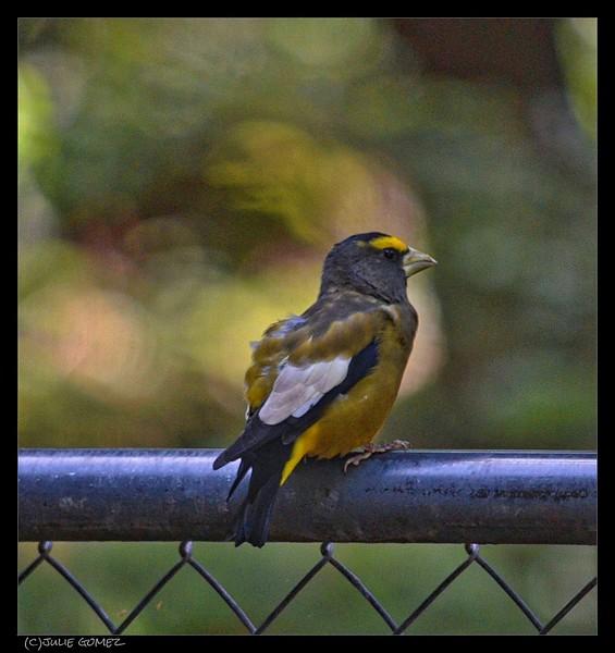 Evening Grosbeak (male)