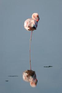 Lake Nikuru, Africa Flamingo.