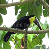 Ramphastos ambiguus swainsonii – Chestnut mandibled toucan 1