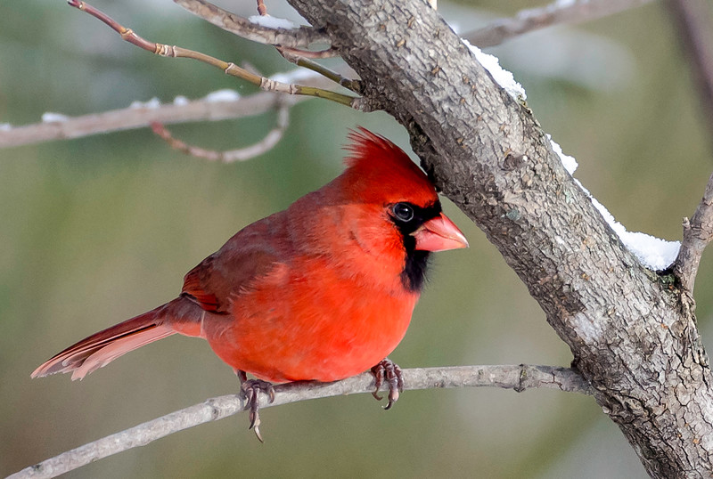 Northern Cardinal (male), Springhill, Nova Scotia - December 23, 2016