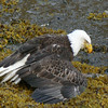 Eagle in the seaweed covering his salmon to protect it from other eagles.  Kenai Peninsula,  Alaska.