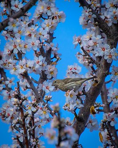 House Finch (female) with Apricot Blossoms