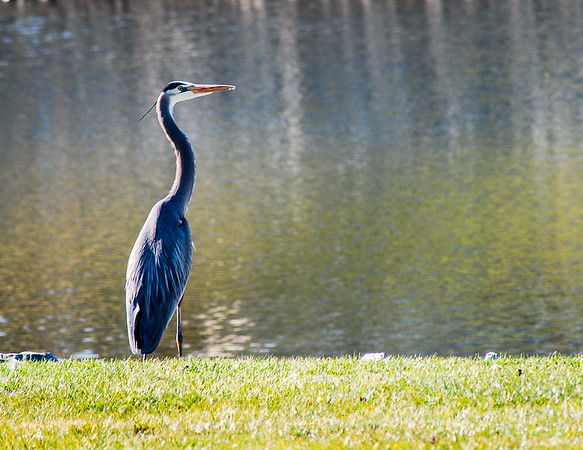 Great Blue Heron Gazing into Pond
