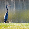 Great Blue Heron Gazing into Pond