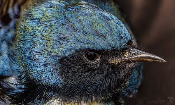 Immature male black-throated blue warbler