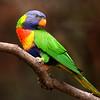 Rainbow Lorikeet,immature-086