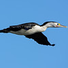 Pied Cormorant, Broadwater, Gold Coast, QLD.