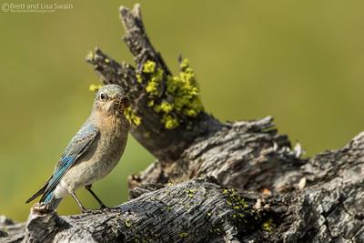 Female Mountain Bluebird Bringing Food to Babies