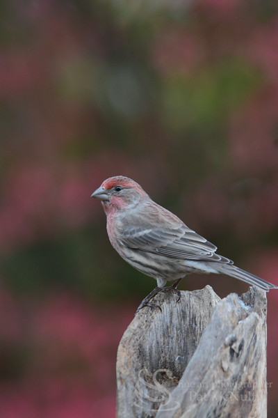 Purple Finch Bird