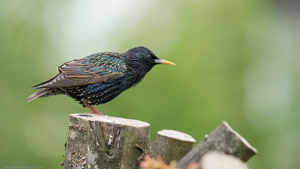 Starling ready for    - taken from Bedroom Window during Lockdown