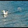 Western Gull On Patrol