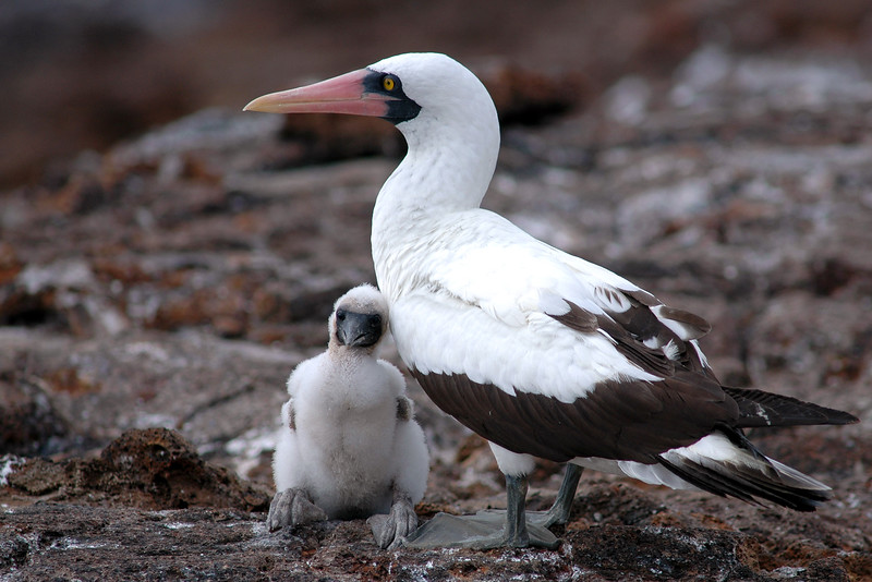 Nazca Boobie with Chick #1