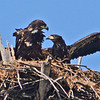 Eaglets soon to leave the nest.
