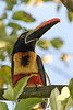 Fiery-billed Aracari Profile #1