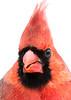 Cardinal portrait 2
