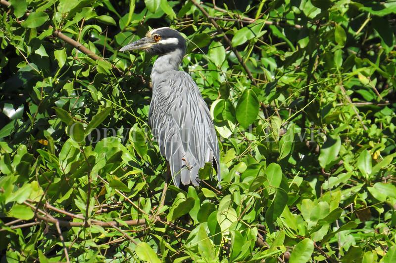 Nyctanassa violacea – Yellow-crowned night heron
