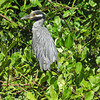 Nyctanassa violacea – Yellow-crowned night heron
