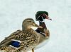 Mallard & Wood-duck, Anus platyrhynchos, Aix sponsa