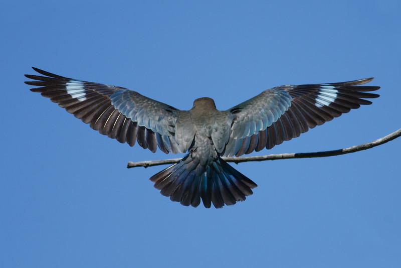 Dollar Bird Landing, Federation Walk, Gold Coast. Qld.