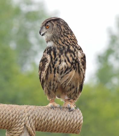 Long-eared Owl (?)