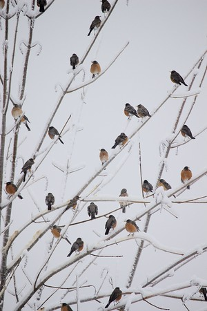 Robins During Ice Storm