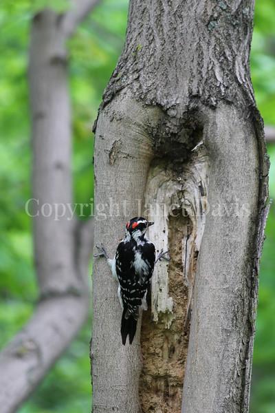 Piccoides villosus – Hairy woodpecker 3