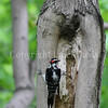 Piccoides villosus – Hairy woodpecker 3