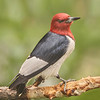 Red-Headed Woodpecker Looks At A Photographer