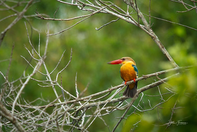 Stork-billed Kingfisher, Pulau Ubin
