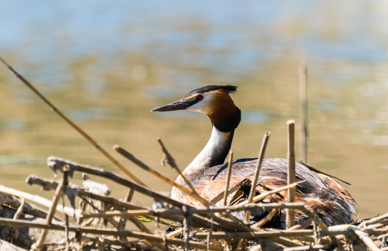 Great crested grebe (skäggdopping) nesting in the middle of Södertälje channel!
