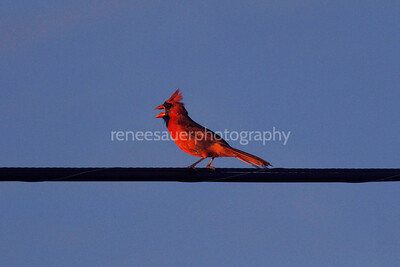 cardinal in wb