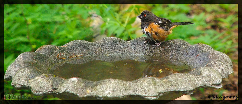 Spotted Towhee (male) ~ Pipilo maculatus
