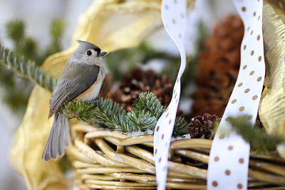Tufted Titmouse in a Basket