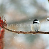 Poecile atricapillus – Black capped chickadee on sumac fruit 3