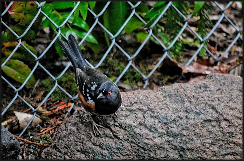 Spotted Towhee ♂ ~ Pipilo maculatus