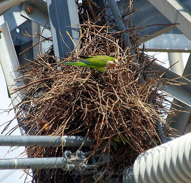 Quaker Parrot/Monk Parakeet  View 5 of 7
