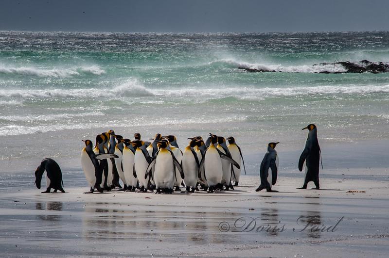 King Penguins in Falkland Islands