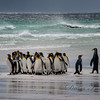 King Penguins in Falkland Islands