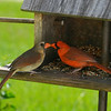 Male and Female cardinals, Central Florida