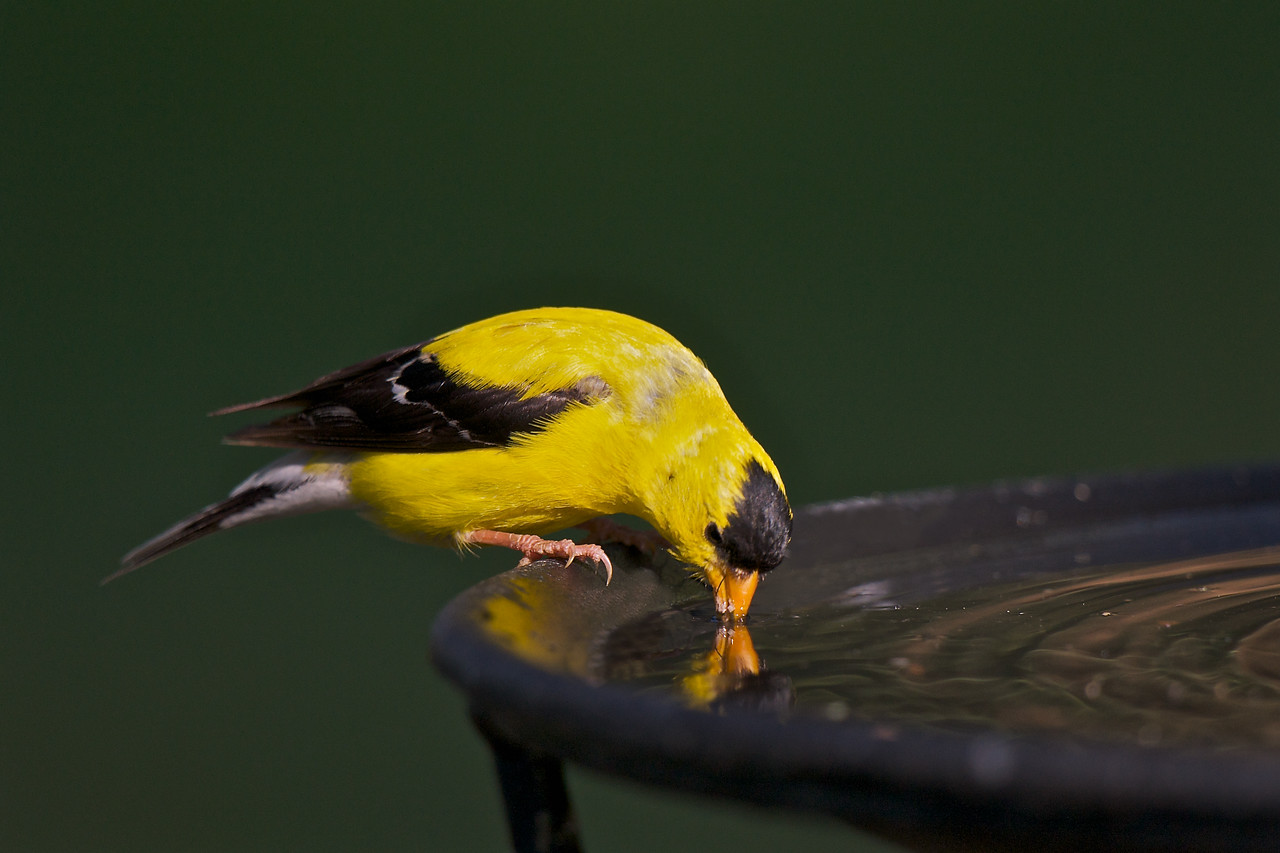 Goldfinch taking a drink from the bird bath at the cottage