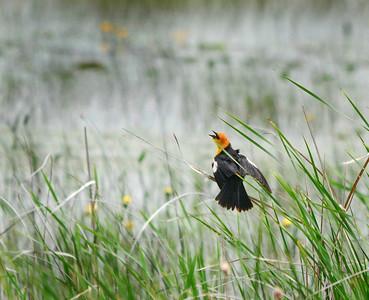 Yellow Headed Blackbird on a Grey Day at Crex