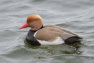 Red Crested Pouchard at Farmoor 4th April 2017