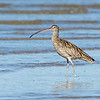 Eastern Curlew, Unnamed Island, The Broadwater, Gold Coast, QLD.