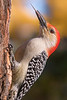 Red Bellied woodpecker and his tools