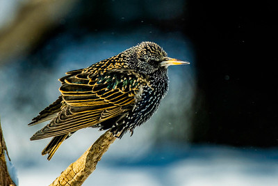 European Starling, Sturnus vulgaris