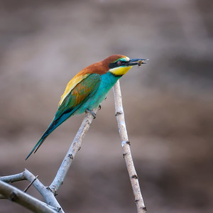 Bee-eating Bee-eater