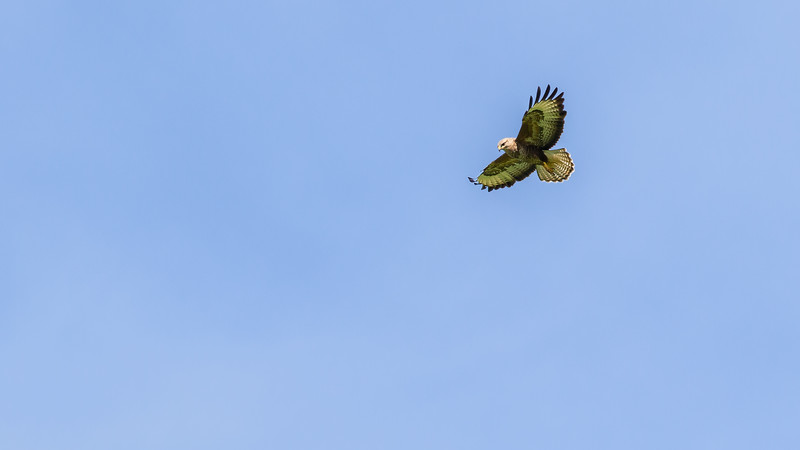 Common buzzard / Buteo buteo / Buizerd