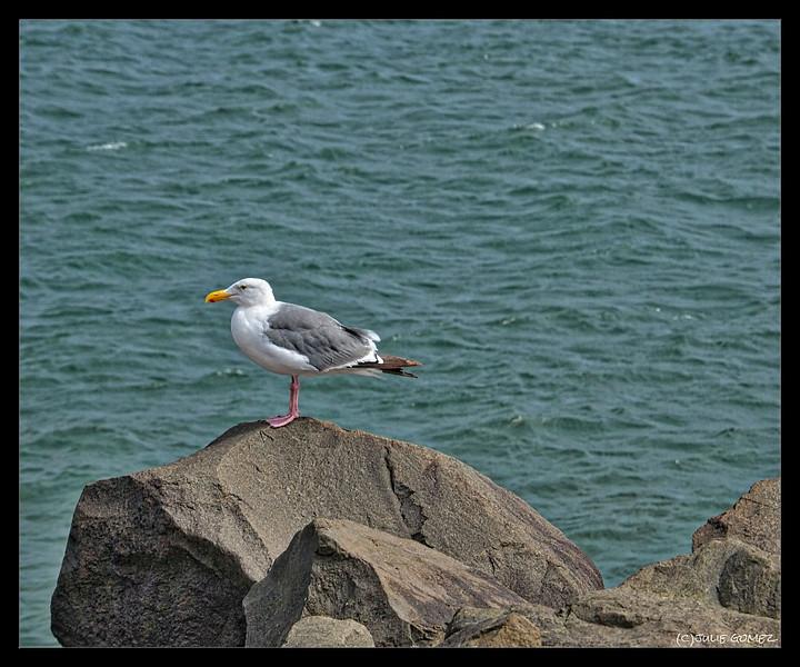 Western Gull on the Rocks