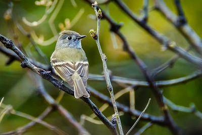 Cordilleran Flycatcher, Empidonax occidentalis