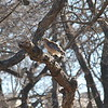 Spotted Mama Red-shouldered Hawk